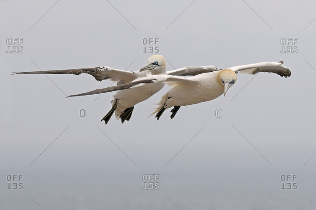 Two flying northern gannets (morus bassanus)