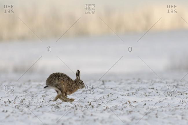 Running rabbit, leporidae