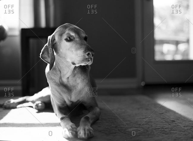 Hound lying on a carpet