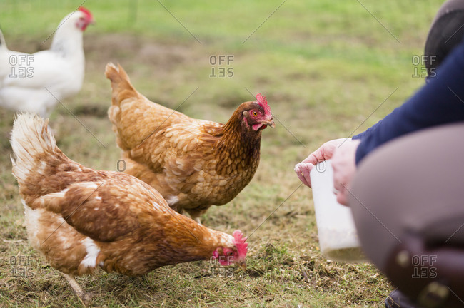 Domestic hens pecking at grain on the ground