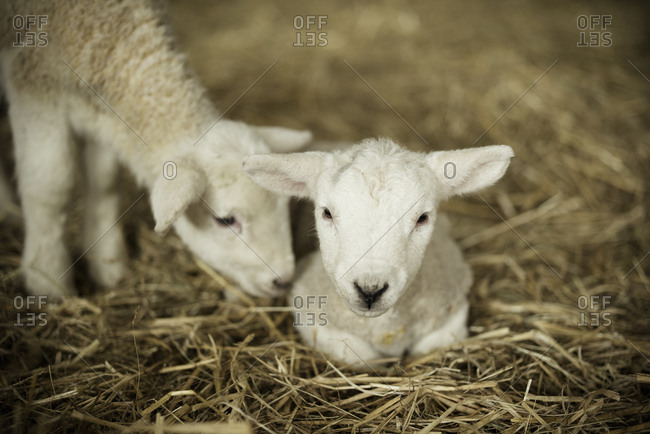 Newborn lambs, two white lambs in a lambing shed