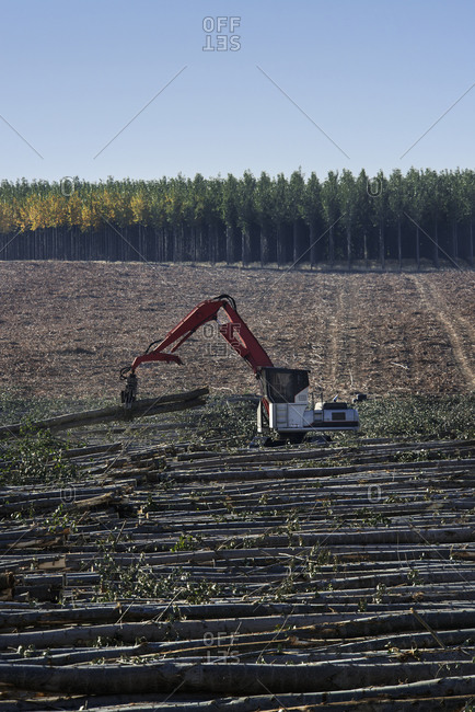 A mechanized grabber sorting felled poplar trees for timber, on a plantation