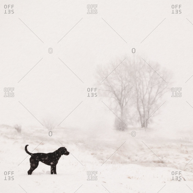 Black dog in a snowy field