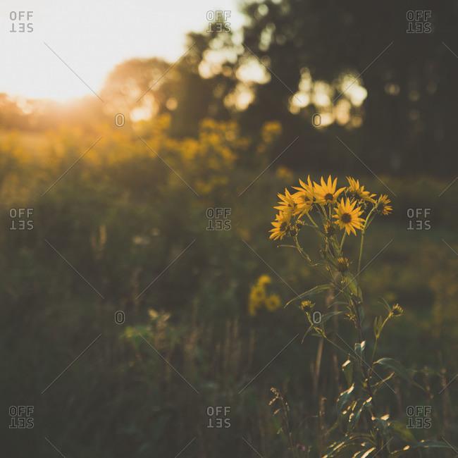 Close up of daisies at sunset