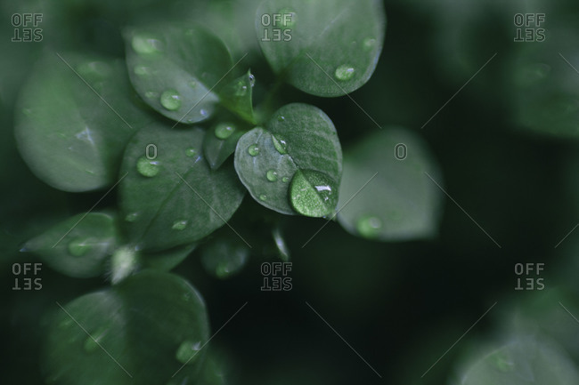 Droplets on the leaves of a plant