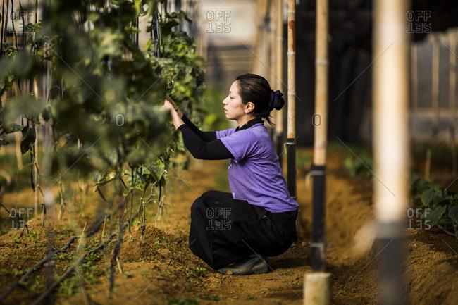 Dalat, Vietnam - February 27, 2014: Yukino Harako, a female farmer, tends to a small garden in the mountains of Dalat, Vietnam.