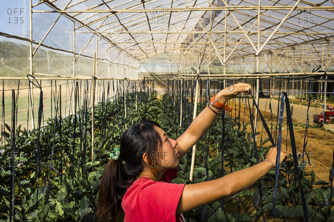 Dalat, Vietnam - February 27, 2014: Sayaka Oshio, a female farmer, tends to eggplant gardens in Dalat, Vietnam.
