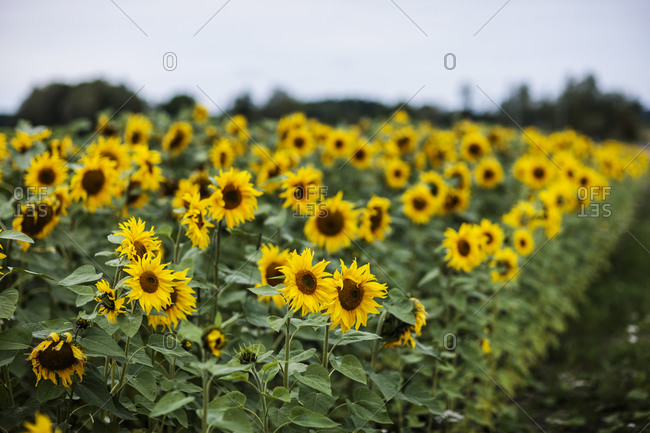 Sunflower field from the Offset Collection