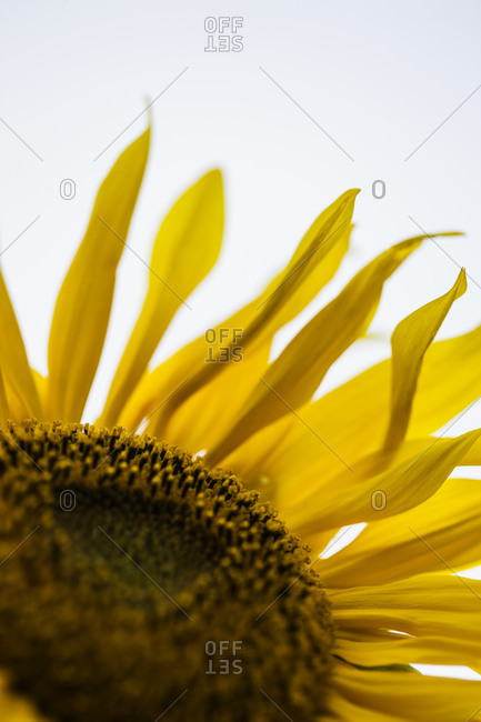 Close-up of sunflower - Offset Collection
