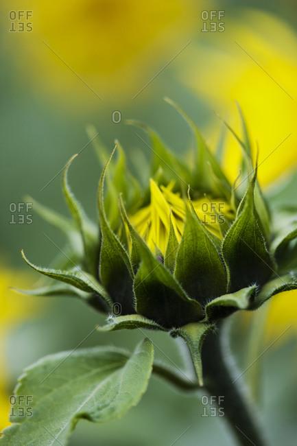Close-up of sunflower bud - Offset