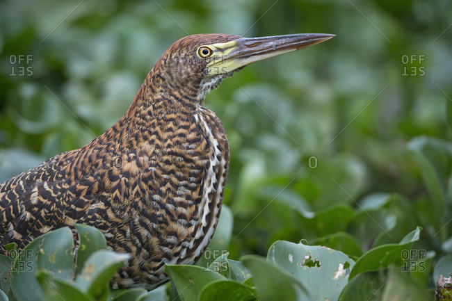 Rufescent Tiger Heron, Tigrisoma lineatum, young animal