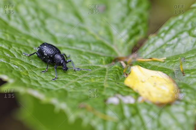 Trunk beetle, Curculionidae, sitting on leaf