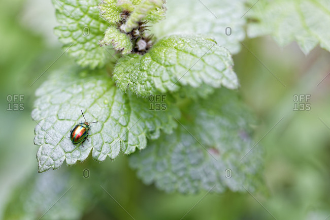 Dead nettle leaf beetle, Chrysolina fastuosa, sitting on leaf
