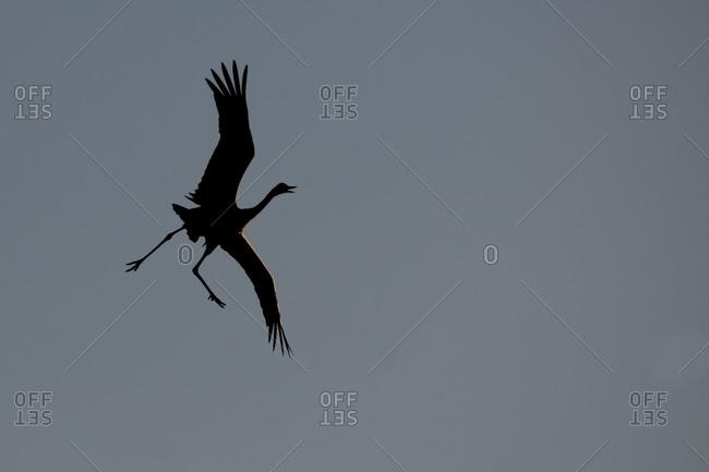 Common crane, Grus grus, flying