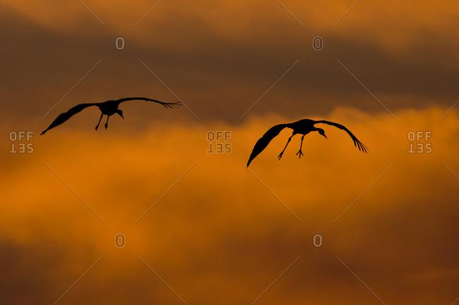 Common Cranes, Grus grus, at sunrise