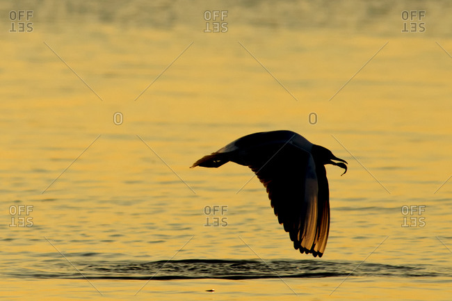 Seagull, Laridae, at sunset