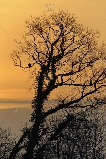Buzzard, Buteo, in a tree at sunset