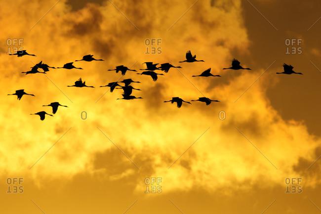 Grey geese, Anser anser, at sunrise