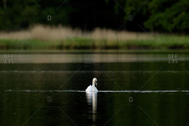 Mute swan, Cygnus olor - Offset