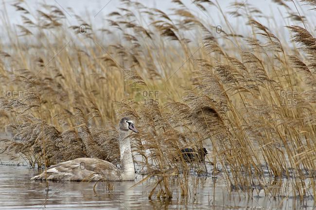 Mute swan, Cygnus olor, young animal