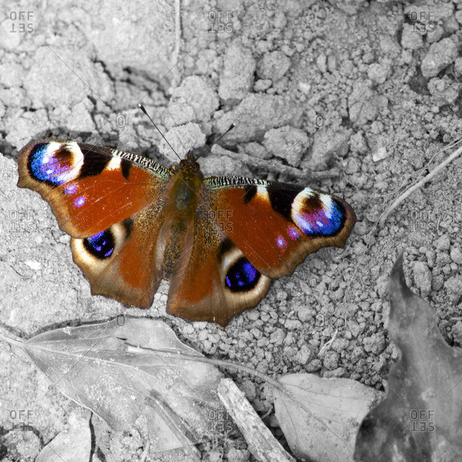European Peacock butterfly, Inachis io