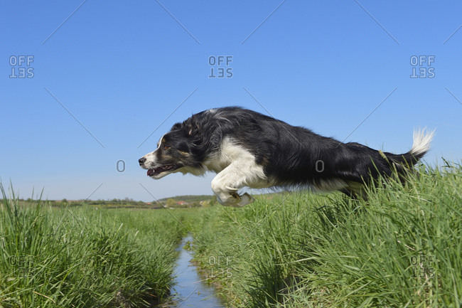 Border Collie jumping over ditch