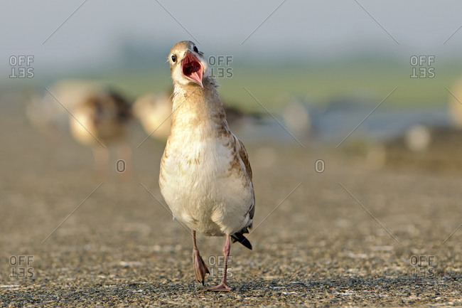 Black-headed gull, Chroicocephalus ridibundus, young animal