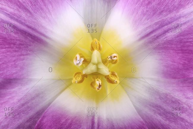 Close up of tulip, studio shot