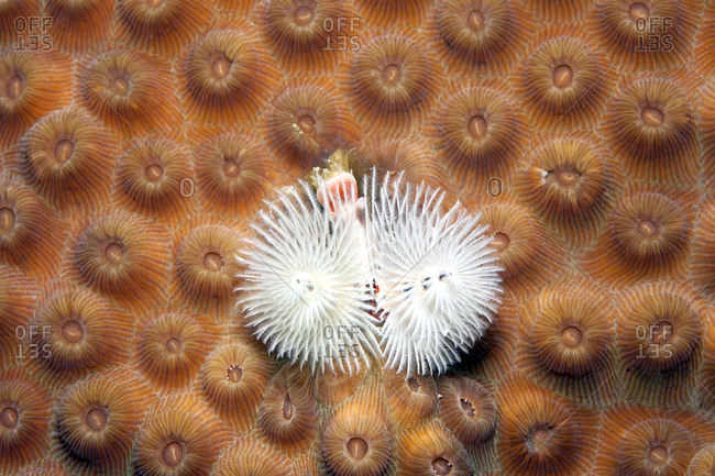 Christmas tree worm, Spirobranchus giganteus, on False Knob Coral, Montastrea cavernosa