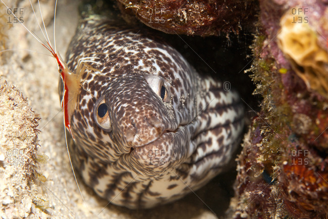 Laced moray, Gymnothorax favagineus, and Cleaner shrimp, Lysmata grabhami