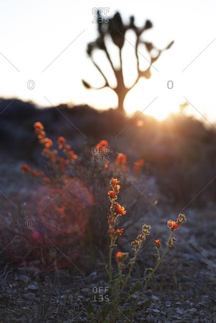 Blossoming orange globe mallow in Nevada