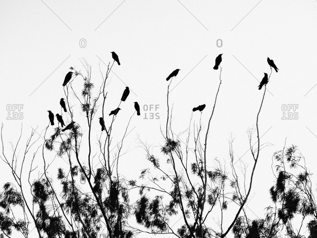 Silhouette of blackbirds on tree