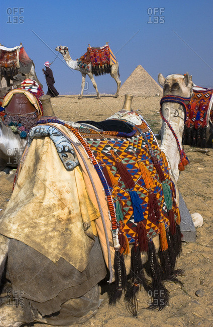 Camels at the Pyramids of Giza in Cairo, Egypt