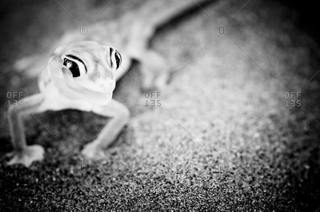 Namib dune gecko in the Namib Desert