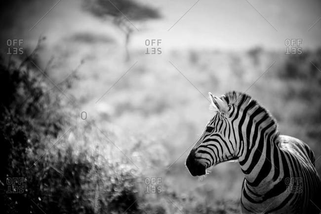Burchell's zebra in Umfolozi national park in South Africa