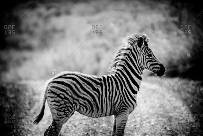 Young Burchell's zebra in Umfolozi national park in South Africa