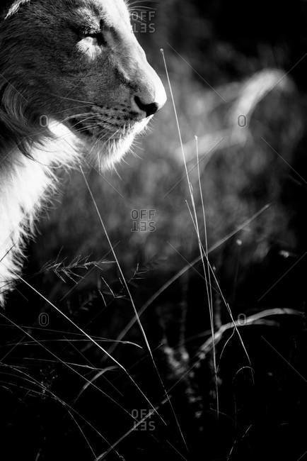 Young male African lion in black and white