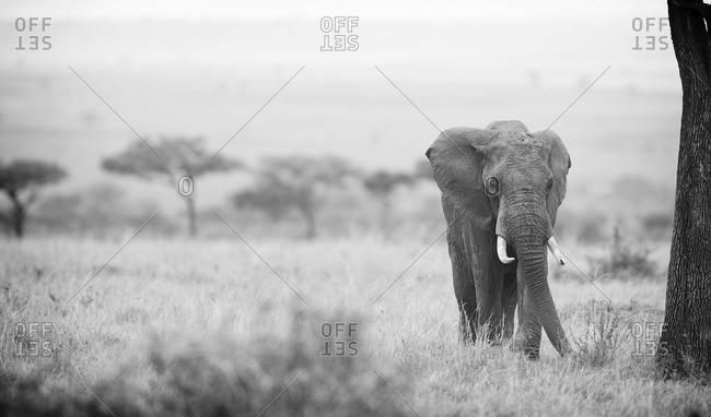 African elephant walking in Masai Mara, Kenya