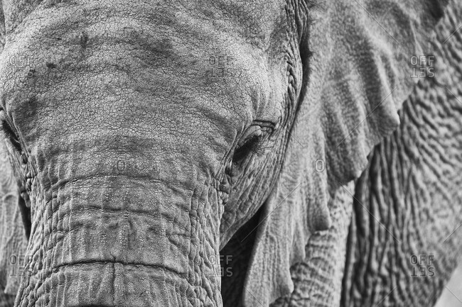 Close up of an African elephant in Masai Mara, Kenya