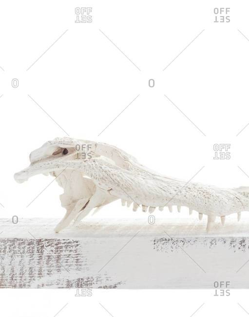 Side view of an alligator skull on white background