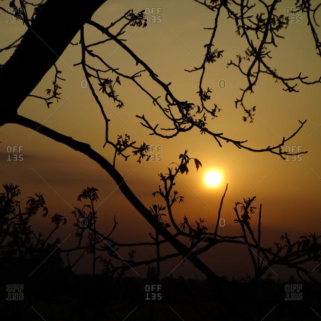 Walnut tree in sunset - Offset