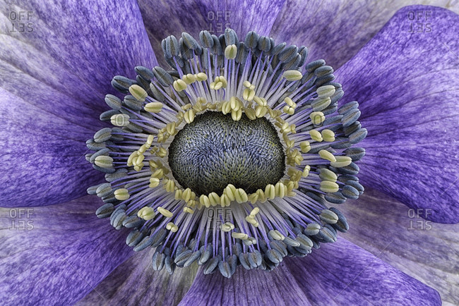 Detail of violet anemone
