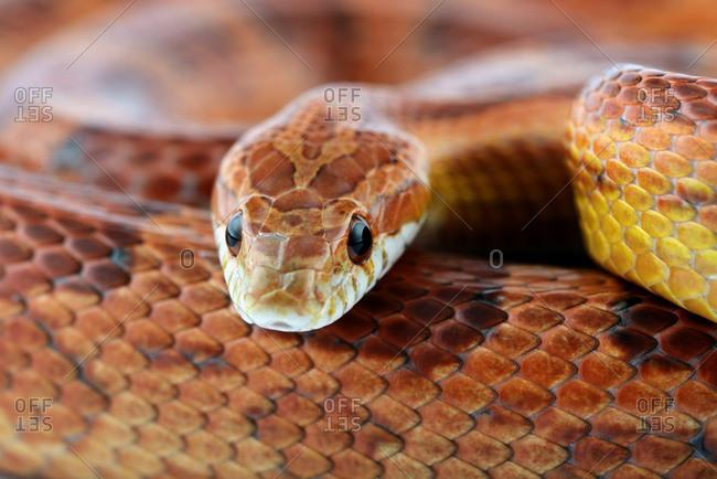 Corn snake, Pantherophis guttatus, partial view