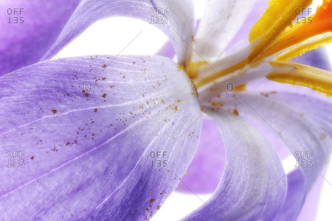 Crocus with pollen, detail