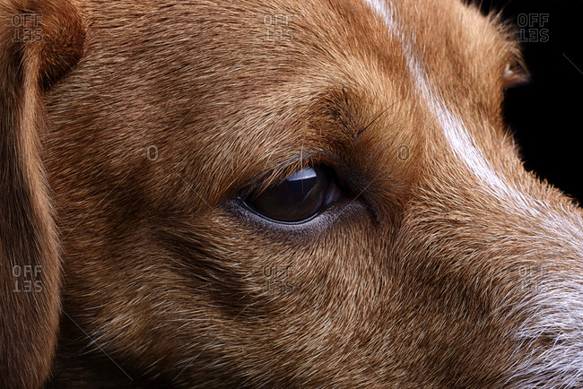 Head of Jack Russell Terrier, partial view