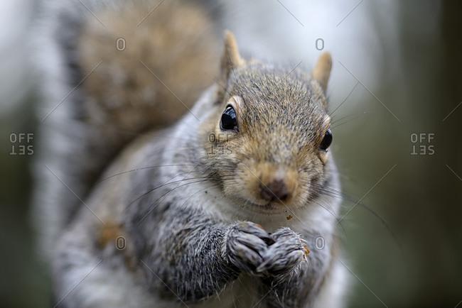 Portrait of grey squirrel, Sciurus carolinensis