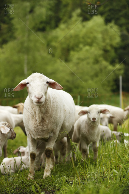 Domestic sheep, Ovis orientalis aries, and lambs on meadow