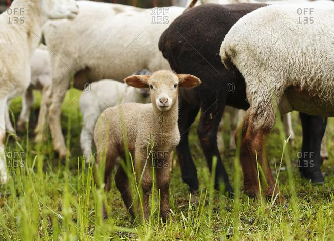 Brown lamb, Ovis orientalis aries