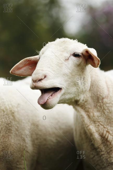 Head of bleating domestic sheep, Ovis orientalis aries