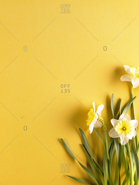 Composition of narcissus flowers in bloom